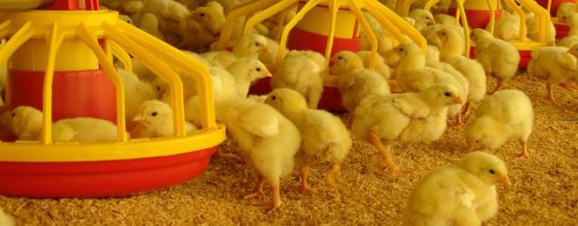 Pollos en libertad